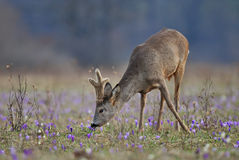 Grazing roe deer Royalty Free Stock Photos