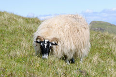 Grazing Scottish blackface sheep, Skye, Scotland Royalty Free Stock Image