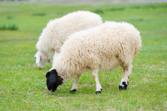 Grazing sheep. Pair of sheep grazing at green pasture royalty free stock photography
