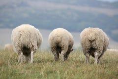 Grazing Sheep royalty free stock photos