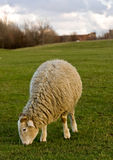 Grazing sheep Stock Photo