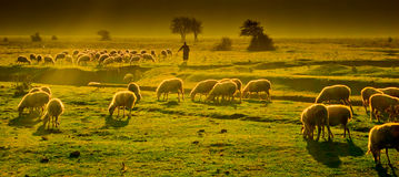 Grazing sheep. A flock of grazing sheep with shepherd Stock Photos