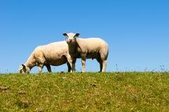 Grazing sheep. On a dike Stock Photos