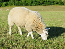 Grazing Sheep. White Woolly Sheep Grazing in a Green Field Stock Photography