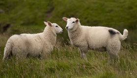 Grazing Sheep Royalty Free Stock Photos