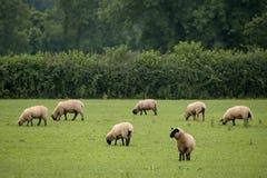 Grazing Sheep. Field of grazing sheep Stock Photos