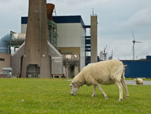 Grazing sheep Stock Photography