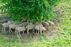 Grazing Sheep Stock Photo