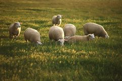 Grazing sheep. Royalty Free Stock Photos