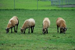 Grazing sheep Stock Images
