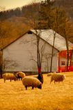 Grazing Sheep. Sheep grazing in the Maryland USA countryside at sunset Royalty Free Stock Images