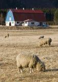Grazing Sheep Stock Image