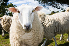 Free Grazing Sheep Royalty Free Stock Images - 76049459