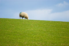 Grazing Sheep Stock Photos