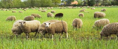 Grazing sheep. Stock Photos