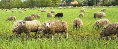 Grazing sheep. Stock Photos