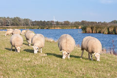 Grazing sheep along the water. In the meadows of the Netherlands royalty free stock photography