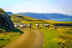 Grazing sheep at beautiful cliffs of Scotland, St Abb`s Head, UK. Grazing sheep at beautiful cliffs of Scotland in St Abb`s Head, UK Royalty Free Stock Photography