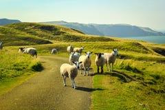 Grazing sheep at beautiful cliffs of Scotland, St Abb`s Head, UK. Grazing sheep at beautiful cliffs of Scotland in St Abb`s Head, UK Stock Photography