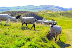 Grazing sheep at beautiful cliffs of Scotland, St Abb`s Head, UK. Grazing sheep at beautiful cliffs of Scotland, St Abb`s Head, United Kingdom, Europe Royalty Free Stock Images