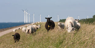 Grazing sheep with behind them a row of windmil Royalty Free Stock Photo
