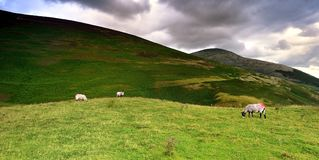 Grazing sheep under the fells. Grazing sheep below Lonscale Fell Royalty Free Stock Photos