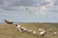 Grazing sheep with big windmills behind them. Grazing sheep with some big windmills behind them Stock Image