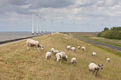 Grazing sheep with big windmills behind them. Grazing sheep with some big windmills behind them Stock Photos