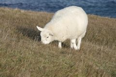 Grazing sheep at the coast Royalty Free Stock Photography