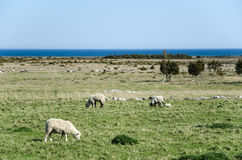 Grazing sheep in a coastal landscape Royalty Free Stock Image