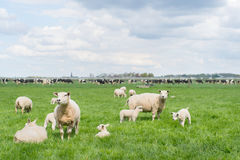 Grazing sheep and cows in meadow Royalty Free Stock Image