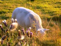 Grazing Sheep @ Crookham, Northumberland, England Royalty Free Stock Photos