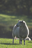 Grazing sheep on dewy grass Royalty Free Stock Photography