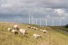 Grazing sheep at a dike with big windmills behind them Royalty Free Stock Photos