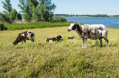 Grazing sheep on a dike Royalty Free Stock Photos