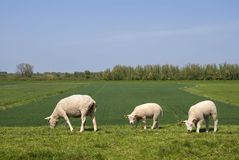 Grazing sheep on a dike Royalty Free Stock Photography