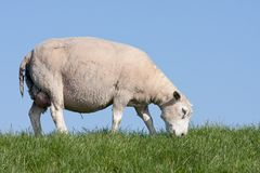 Grazing sheep at a dike in the Netherlands Royalty Free Stock Photography