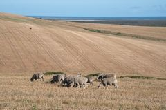 Grazing sheep on a dry farm Stock Photos