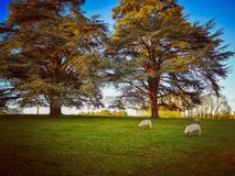Grazing Sheep English Countryside. Sheep grazing autumn leaves conifer trees stock images