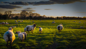 Grazing sheep in evening light. Royalty Free Stock Image