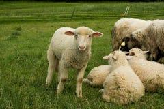 Grazing sheep in farm. Grazing sheep on green grass Stock Photo
