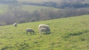 Grazing sheep. Farm animals at Stoney Littleton Long Barrow Stock Image