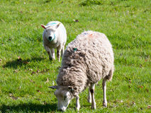Grazing Sheep in a farm field in spring. Some sheep grazing on a farm royalty free stock images
