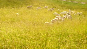 Grazing Sheep on Farm Pasture Stock Images
