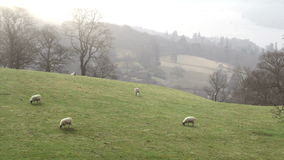 Grazing Sheep stock video footage