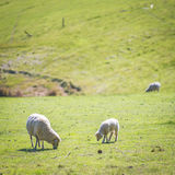 Grazing Sheep Royalty Free Stock Images