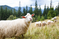 Grazing sheep flock on the pasture in mountains Stock Photo
