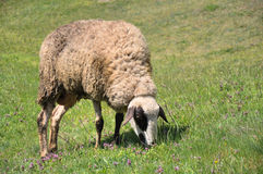 Grazing sheep Stock Photography
