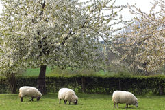 Grazing sheep in fruityard in full blossom. Netherlands: On a sunny, warm spring day in the hilly country in the south of the province Limburg there are fruit Royalty Free Stock Images
