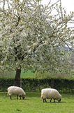 Grazing sheep in fruityard in full blossom Royalty Free Stock Image